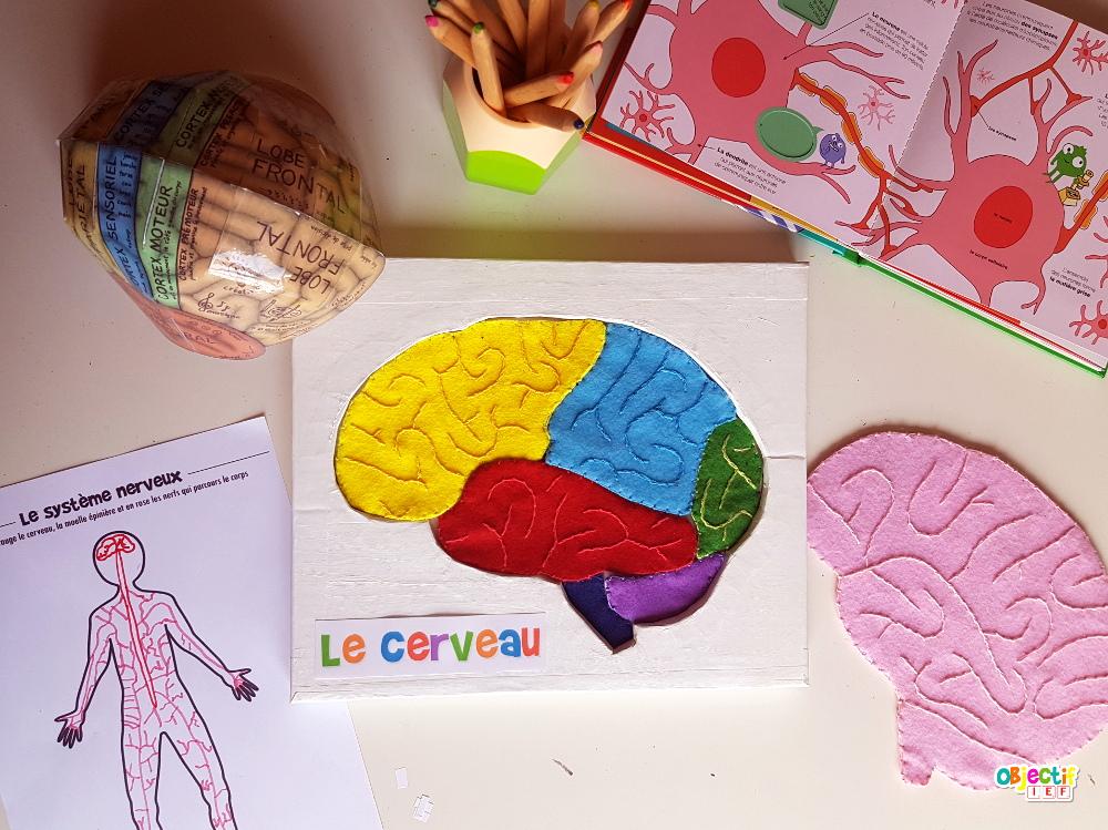 Le cerveau activités et supports gratuit neurone, système nerveux Objectif IEF
