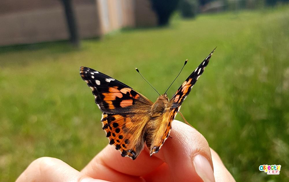 élevage de papillons expérience insect lore amazon belle dame ief projet DDM découverte du monde cycle de vie Instruction en famille